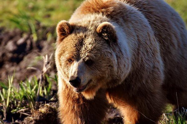 Животные Финляндии с фото и описанием - Европейский бурый медведь