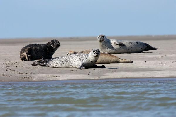 Животные Франции с фото и описанием - Обыкновенный тюлень