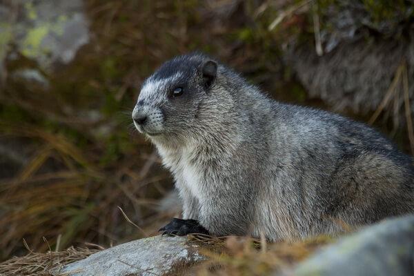 Животные Франции с фото и описанием - Альпийский сурок