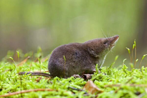 Животные Франции с фото и описанием - Малая бурозубка или землеройка-малютка