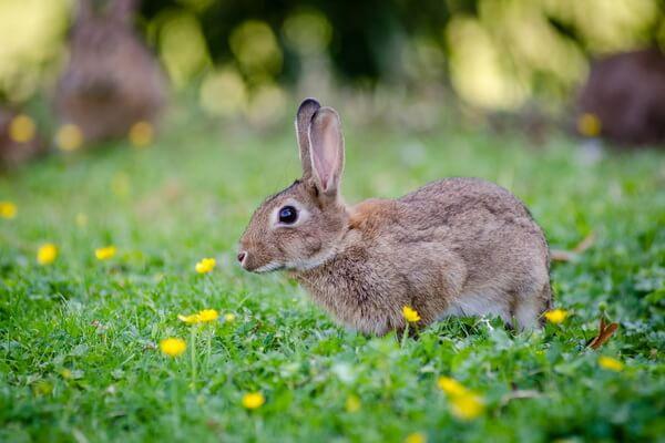 Животные Франции с фото и описанием - Заяц-русак