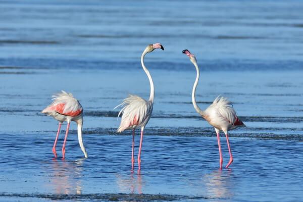 Животные Франции с фото и описанием - Фламинго