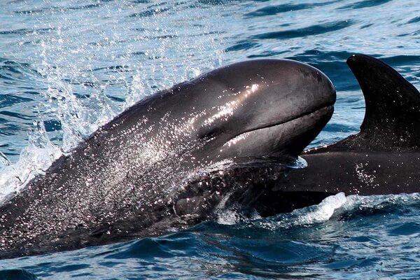 Животные Франции с фото и описанием - Малая или чёрная косатка