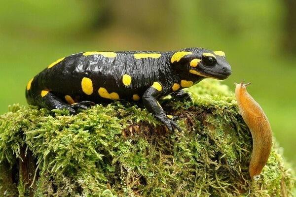 Животные Франции с фото и описанием - Огненная саламандра