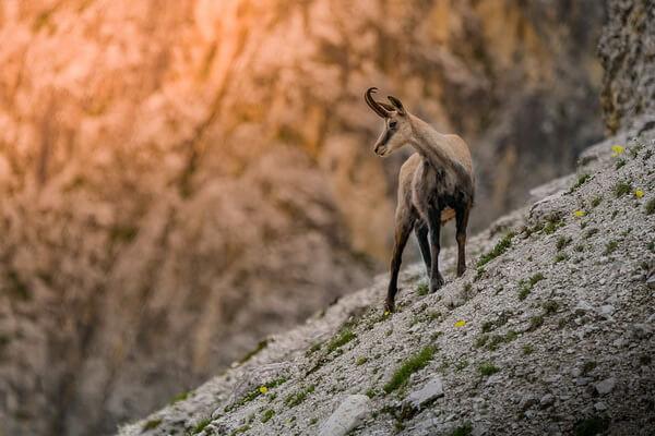 Животные Германии с фото и описанием - Серна