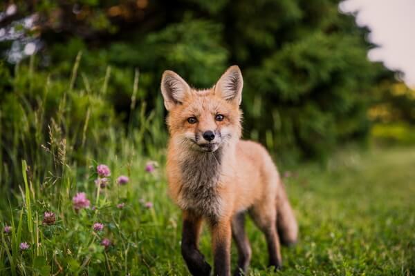 Животные Германии с фото и описанием - Рыжая лисица