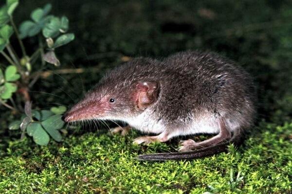 Животные Германии с фото и описанием - Белобрюхая или ушастая белозубка