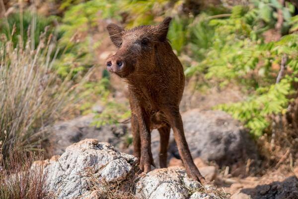Животные Германии с фото и описанием - Кабан