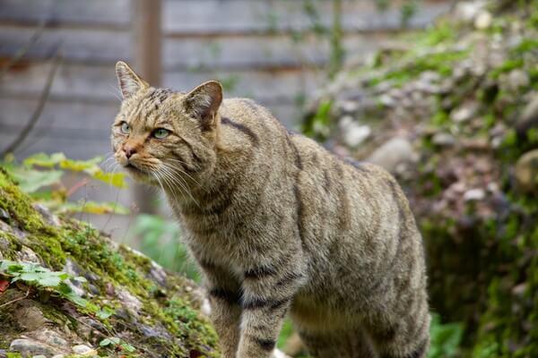 Животные Германии с фото и описанием - Европейский лесной кот