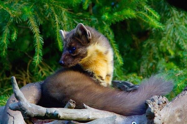 Животные Германии с фото и описанием - Лесная куница (желтодушка)