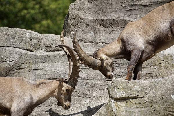 Животные Германии с фото и описанием - Альпийский козёл или ибекс