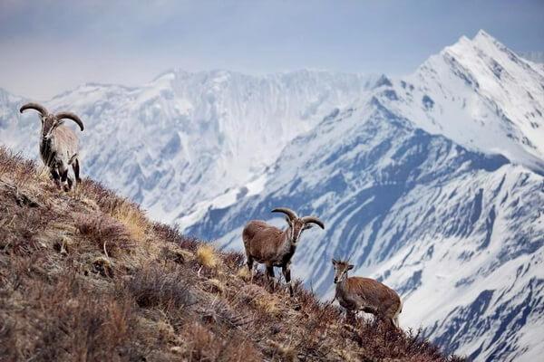 Животные Гималаев с фото и описанием - Нахур или бхарал