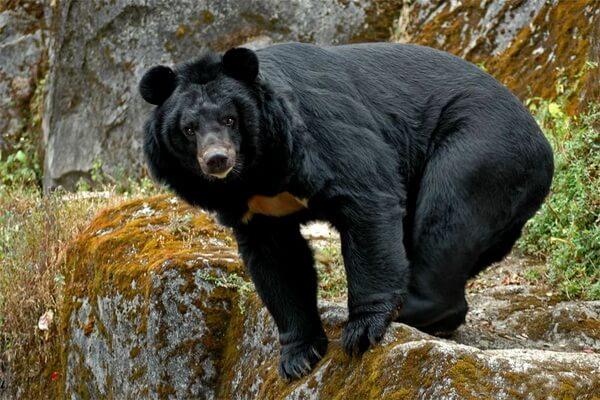 Животные Гималаев с фото и описанием - Гималайский чёрный медведь