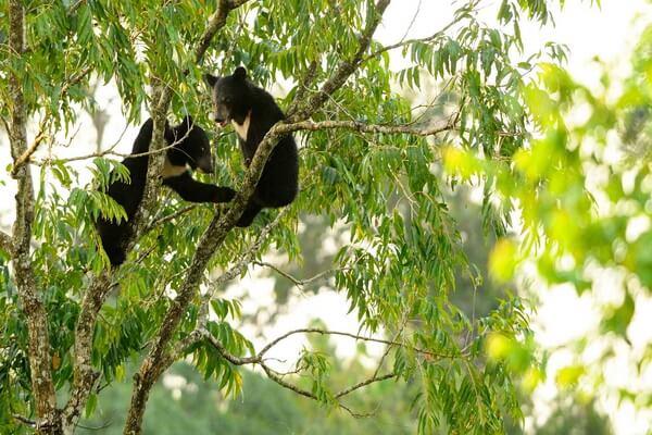 Животные Гималаев с фото и описанием - Гималайские чёрные медведи
