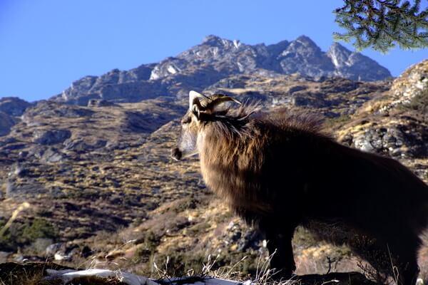 Животные Гималаев с фото и описанием - Гималайский тар