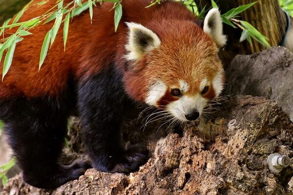 Животные Гималаев с фото и описанием - Малая или красная панда