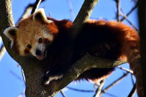 Животные Гималаев с фото и описанием - Красная панда