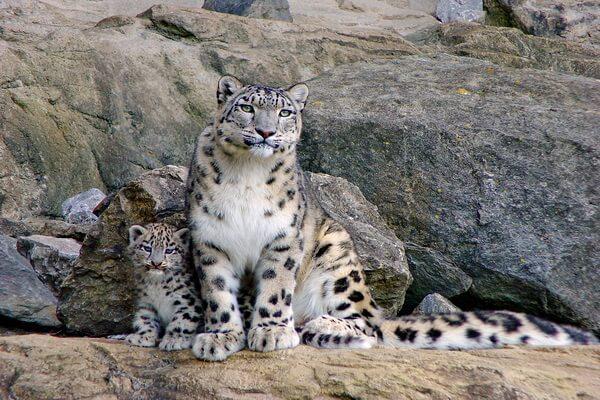 Животные Гималаев с фото и описанием - Ирбисы