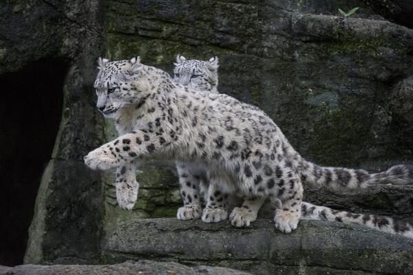 Животные Гималаев с фото и описанием - Снежный барс (ирбис)