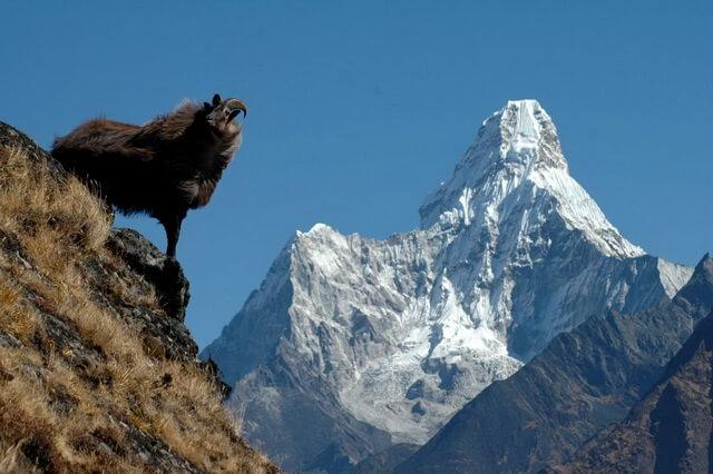Животные Гималаев - основные виды с фото и описанием