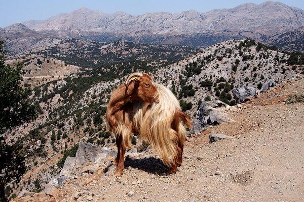 Животные Греции с фото и описанием - Критский горный козёл (кри-кри)