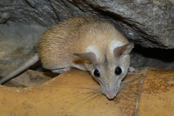 Животные Греции с фото и описанием - Критская иглистая мышь