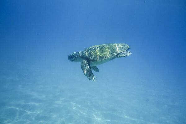 Животные Греции с фото и описанием - Черепаха каретта или логгерхед