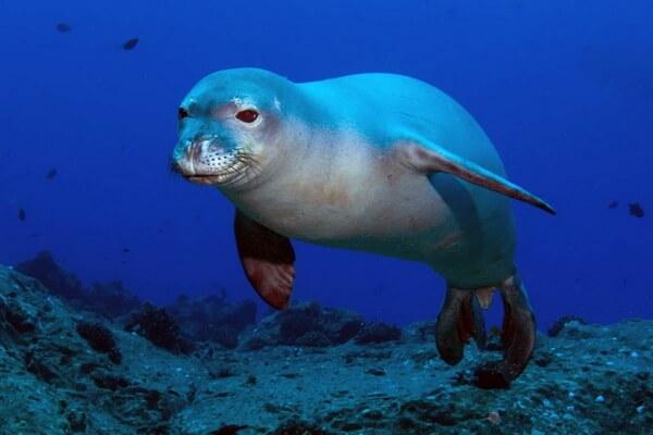 Животные Греции с фото и описанием - Белобрюхий или средиземноморский тюлень-монах