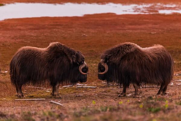 Животные Гренландии с фото и описанием - Овцебык или мускусный бык