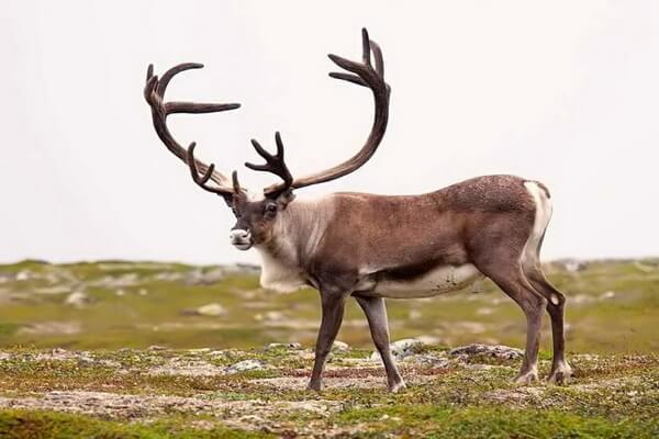 Животные Гренландии с фото и описанием - Северный олень (карибу)