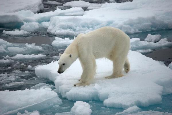 Животные Гренландии с фото и описанием - Белый медведь