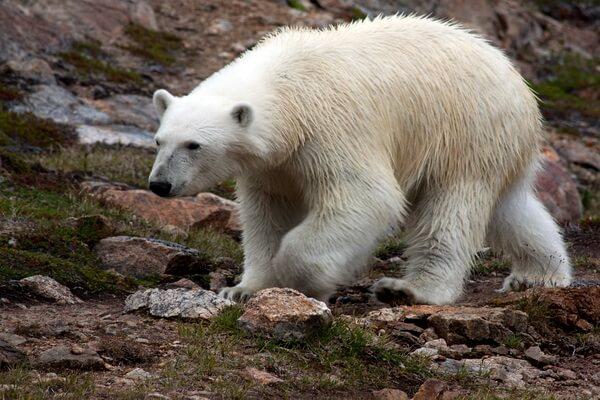 Животные Гренландии с фото и описанием - Белый или полярный медведь