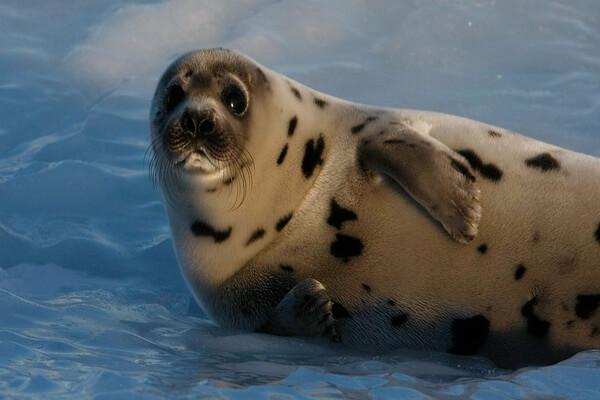 Животные Гренландии с фото и описанием - Настоящие тюлени