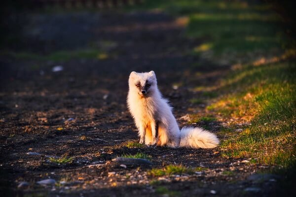 Животные Гренландии с фото и описанием - Обыкновенный песец или полярная лисица