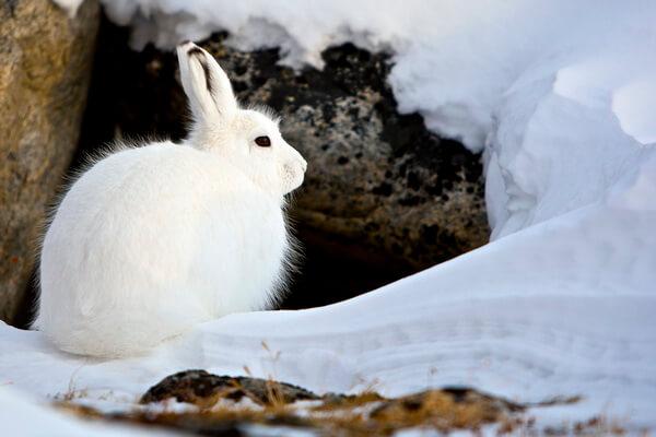 Животные Гренландии с фото и описанием - Арктический беляк