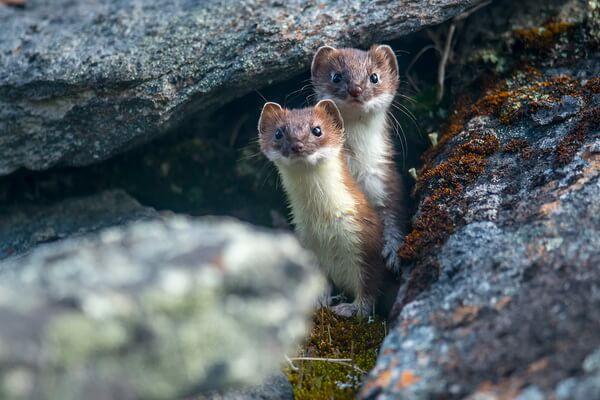 Животные Гренландии с фото и описанием - Горностай