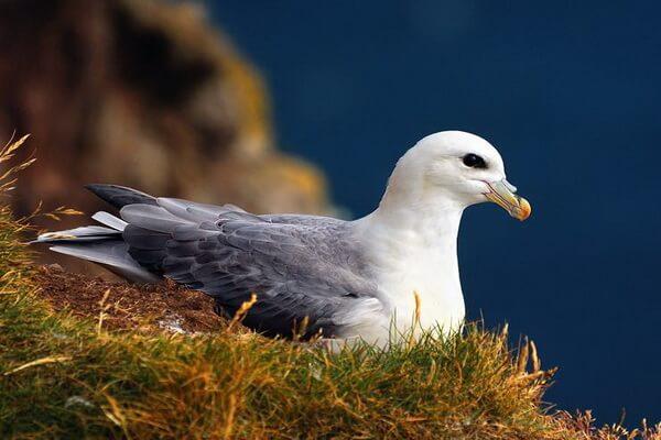 Птицы Гренландии - Глупыши