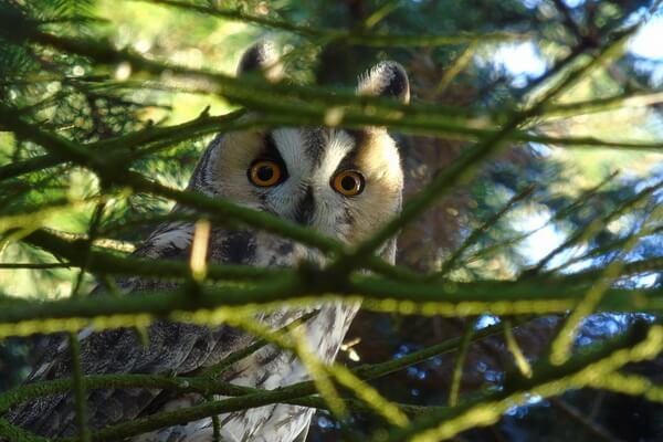 Животные хвойных лесов с фото и описанием - Ушастая сова