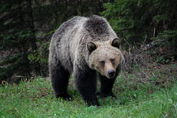 Фауна хвойных лесов - Гризли