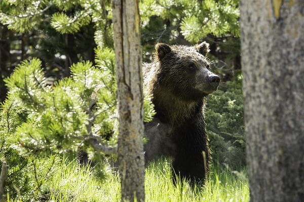 Животные хвойных лесов с фото и описанием - Гризли