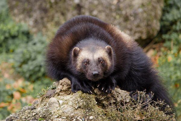 Животные хвойных лесов с фото и описанием - Росомаха