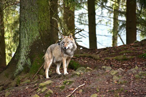 Животные хвойных лесов с фото и описанием - Серый волк