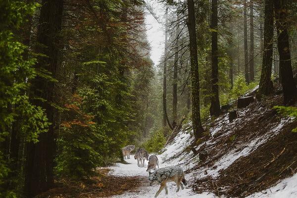 Животные хвойных лесов с фото и описанием - Евразийские волки