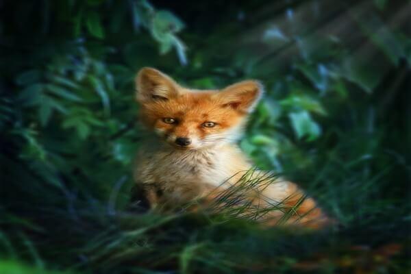 Животные хвойных лесов с фото и описанием - Обыкновенная или рыжая лисица