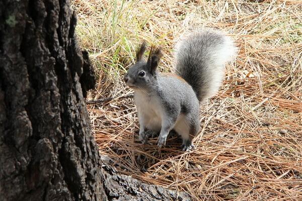 Животные хвойных лесов с фото и описанием - Белки