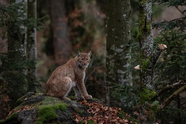 Животные хвойных лесов с фото и описанием - Рыжая или красная рысь
