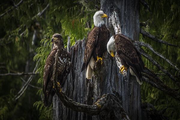 Животные хвойных лесов с фото и описанием - Белоголовый орлан