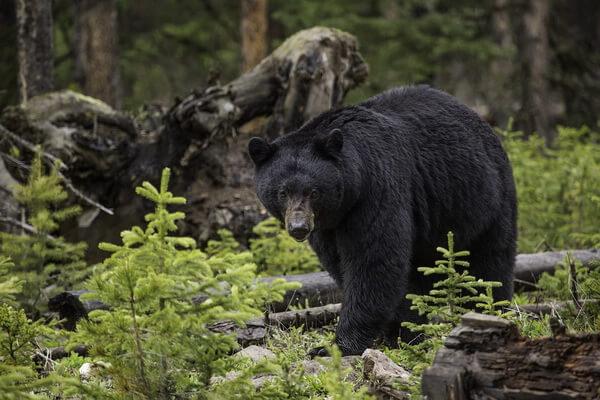 Животные хвойных лесов с фото и описанием - Чёрный медведь (барибал)