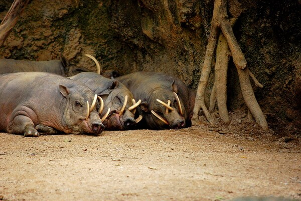 Животные Индонезии с фото и описанием - Бабирусса