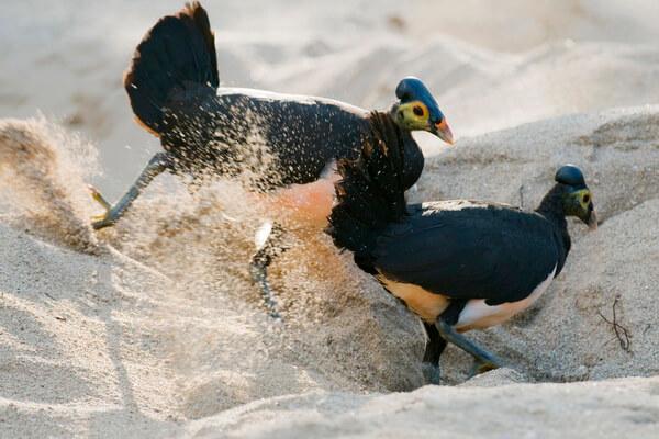 Животные Индонезии с фото и описанием - Птица малео